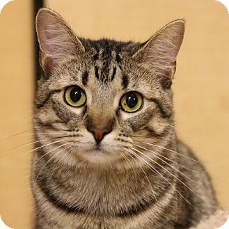 Domestic Shorthair Cat for adoption in Columbia, Illinois - Twilight