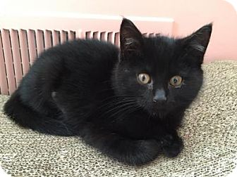 Bombay Kitten for adoption in East Hanover, New Jersey - Sabrina