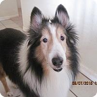 Adopt A Pet :: yoda - apache junction, AZ