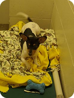 Jack Russell Terrier Puppy for adoption in Paris, Illinois - Morgan