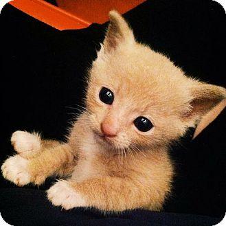 American Shorthair Kitten for adoption in Redondo Beach, California - Eddy..I love other pets!
