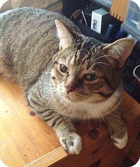Domestic Shorthair Cat for adoption in Toronto, Ontario - Milo