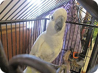 Cockatoo for adoption in Broadway, New Jersey - Damien