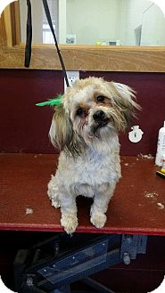 Yorkie, Yorkshire Terrier/Shih Tzu Mix Puppy for adoption in Newburgh, Indiana - Buttercup
