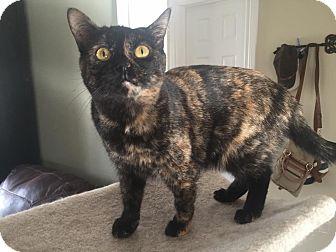 Domestic Shorthair Cat for adoption in Ottawa, Ontario - Pringles