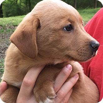 Labrador Retriever Mix Puppy for adoption in Minnetonka, Minnesota - Cayenne