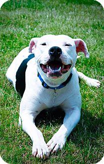 American Bulldog/Boxer Mix Dog for adoption in Milwaukee, Wisconsin - ELLA