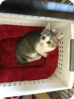 Domestic Shorthair Kitten for adoption in Mansfield, Texas - Arizona
