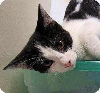 Domestic Shorthair Kitten for adoption in Grinnell, Iowa - Sasha