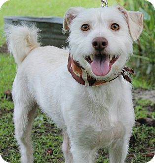 Jack Russell Terrier Mix Dog for adoption in Ocean Springs, Mississippi - Polo
