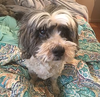 Shih Tzu/Lhasa Apso Mix Dog for adoption in Los Angeles, California - Spike
