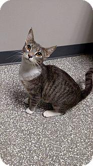 Domestic Shorthair Cat for adoption in Chaska, Minnesota - Maleficent