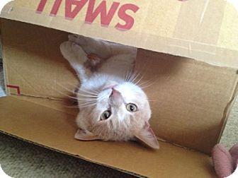 Domestic Shorthair Cat for adoption in Alexandria, Virginia - Thomas