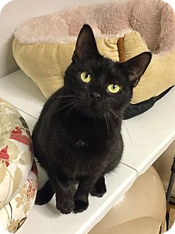 Domestic Shorthair Cat for adoption in Greensburg, Pennsylvania - Sara