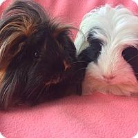 Adopt A Pet :: Gidget - Steger, IL