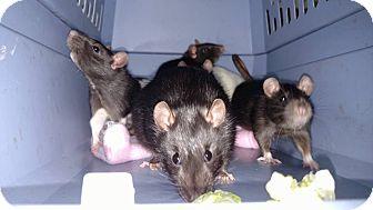 Rat for adoption in Hamden, Connecticut - Female rats