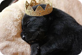 Labrador Retriever/Shepherd (Unknown Type) Mix Puppy for adoption in Fredericksburg, Virginia - Daryl