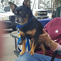Adopt A Pet :: Rottieboy - Jacksonville, NC