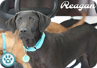 Shepherd (Unknown Type)/Hound (Unknown Type) Mix Puppy for adoption in Kimberton, Pennsylvania - Reagan