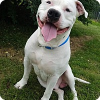 Pit Bull Terrier Dog for adoption in Hornell, New York - Tuko