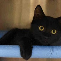 Domestic Mediumhair Cat for adoption in Gainesville, Florida - MIDORI