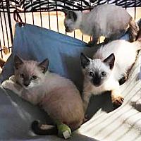 Adopt A Pet :: Siamese Kittens - Metairie, LA