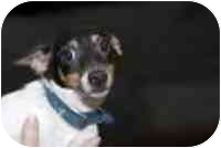 Toy Fox Terrier Puppy for adoption in Cole Camp, Missouri - Lil Art
