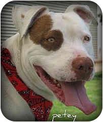 American Pit Bull Terrier Dog for adoption in San Pedro, California - Prince aka Petey