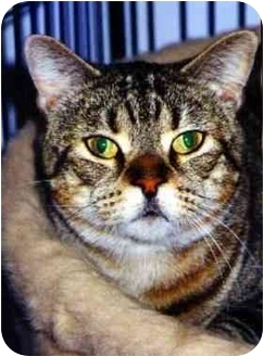 Domestic Shorthair Cat for adoption in Medway, Massachusetts - Sara