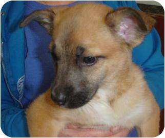 Shepherd (Unknown Type) Mix Puppy for adoption in Old Bridge, New Jersey - Alexia