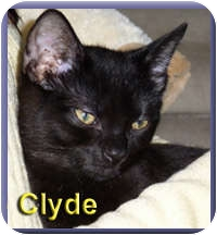Domestic Shorthair Kitten for adoption in Aldie, Virginia - Clyde