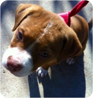 American Bulldog/Retriever (Unknown Type) Mix Puppy for adoption in Reisterstown, Maryland - Fred