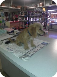Poodle (Miniature)/Terrier (Unknown Type, Small) Mix Puppy for adoption in Las Vegas, Nevada - Alvin -N