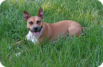 American Staffordshire Terrier Mix Dog for adoption in Pompano Beach, Florida - Stella