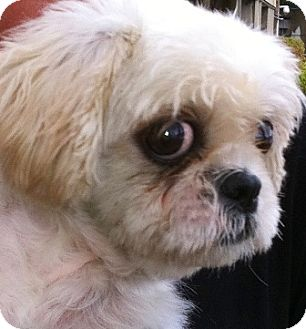 Shih Tzu Mix Dog for adoption in Oswego, Illinois - I'M ADOPTED Sunny D Lite Dean