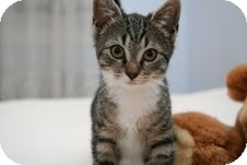 Domestic Shorthair Kitten for adoption in East Brunswick, New Jersey - Ginny