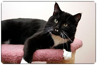 Domestic Shorthair Cat for adoption in Sterling Heights, Michigan - Mooch - ADOPTED!