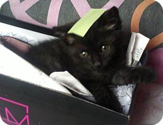 Domestic Mediumhair Kitten for adoption in Santa Monica, California - Sivan