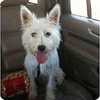 Adopt A Pet :: Zoey - Arlington, TX