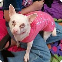 Adopt A Pet :: Chile Bean - Encinitas, CA