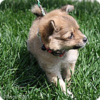 Adopt A Pet :: Peppermint Patty - Broomfield, CO