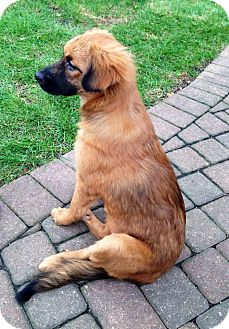 Shepherd (Unknown Type) Mix Puppy for adoption in Naperville, Illinois - Kora