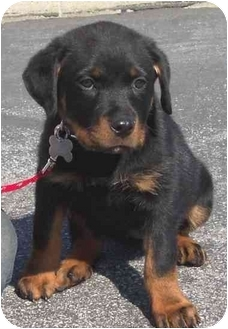 Rottweiler Puppy for adoption in West Los Angeles, California - Charmin