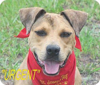 Catahoula Leopard Dog/American Bulldog Mix Dog for adoption in Port St. Joe, Florida - Dallas - URGENT!!!