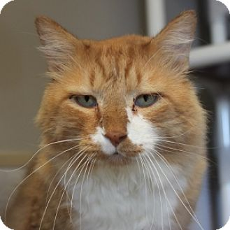 Domestic Longhair Cat for adoption in Naperville, Illinois - Cassady