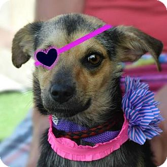Terrier (Unknown Type, Small) Mix Dog for adoption in Denver, Colorado - Sweetie