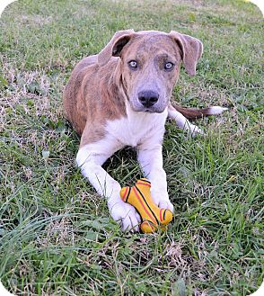 American Pit Bull Terrier Mix Puppy for adoption in Prince George, Virginia - Jetta
