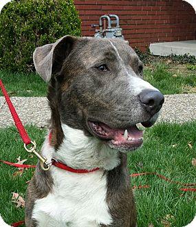 Great Dane/Labrador Retriever Mix Dog for adoption in LaGrange, Kentucky - Duke