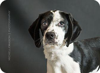 Pointer/Hound (Unknown Type) Mix Puppy for adoption in Naperville, Illinois - Frasier