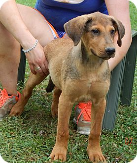 Golden Retriever/German Shepherd Dog Mix Puppy for adoption in Burlington, Vermont - Hercules (22 lb) Video!